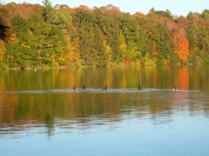 Geese on Lake at Kripalu